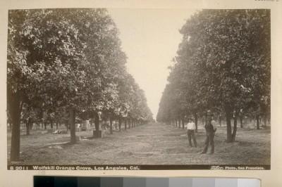 LARABA-organge grove