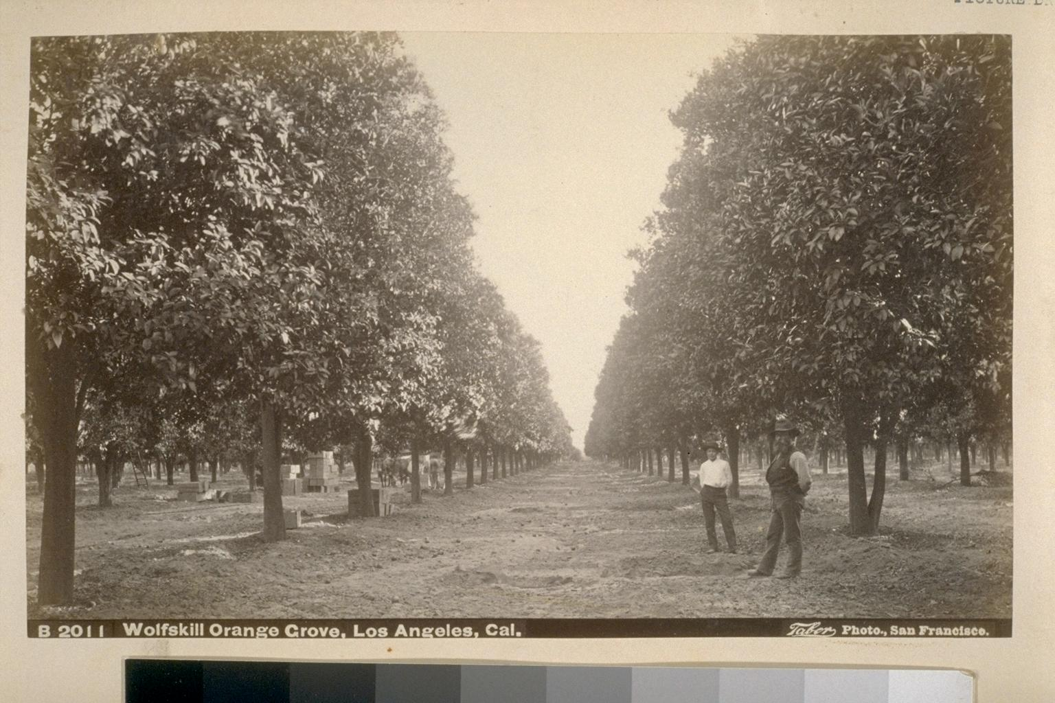 Arts District History - Picture of a 19th century orange grove in the Arts District of Los Angeles